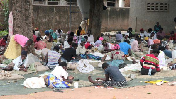 In einer Kaffeefabrik in Mbale/Uganda sitzen während der Ernte bis zu 200 Frauen und sortieren Kaffee.