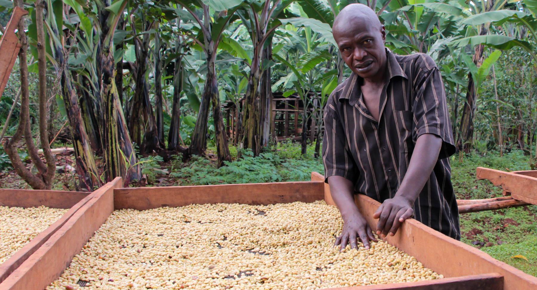 Eine immense Arbeit während der Trocknung des Kaffees.