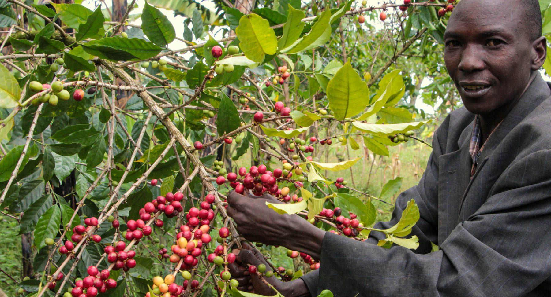 Kaffee-Ernte 2013 in Uganda am Mount Elgon auf 2000m Höhe