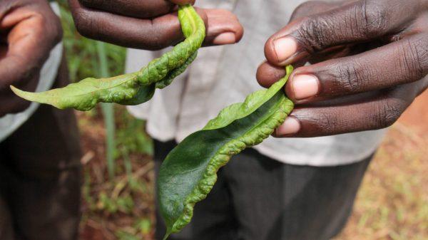 Blattkrankheit - Leaf Rolling Thrips