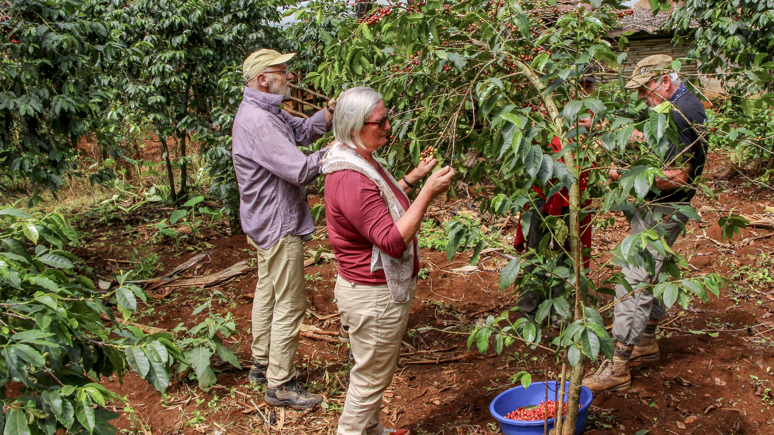 Kaffee-Ernte ist mühsam. Kirsche für Kirsche wir gepflückt. Das dauert 3 Monate bis alle reif geworden sind.
