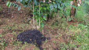 Die schnell verwesenden Kaffeeschalen als Dünger an den Kaffeebäumen