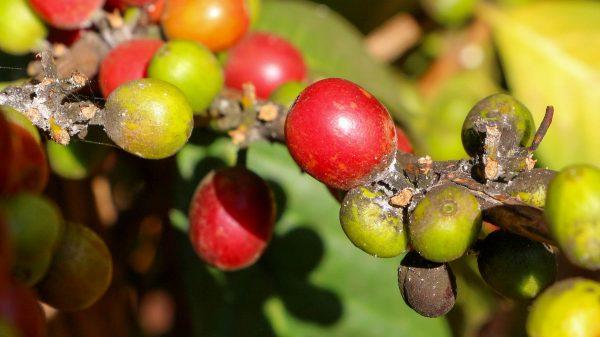 """Ein schädlicher Pilz """"Coffee Wilt Desease"""" (CWD), der in Uganda zu dramtischem Absterben von Robusta Bäumen geführt hat."""