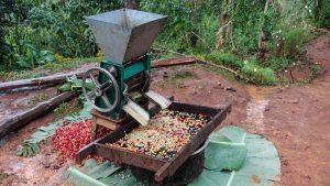 Schälmaschine (Pulper), hinten das Fruchtfleisch, vorne die Pergamino-Bohnen