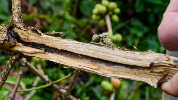 Befall durch einen Kaffee-Stamm-Bohrer hat zum Abbruch eines Zweiges geführt.