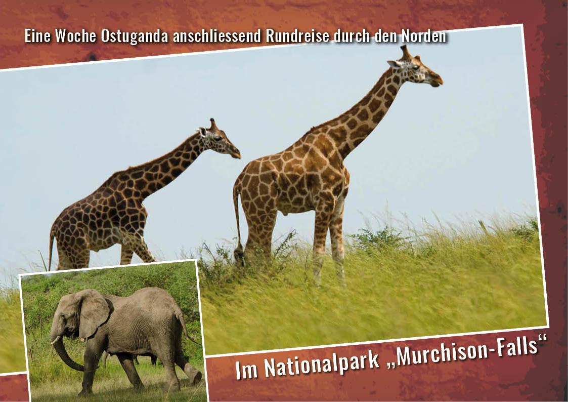 Im Nationalpark sehen wir die seltenen Rothschild-Giraffen